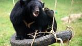 Rạp xiếc Trung ương Hà Nội cắt tiết mục biểu diễn dùng gấu hoang dã