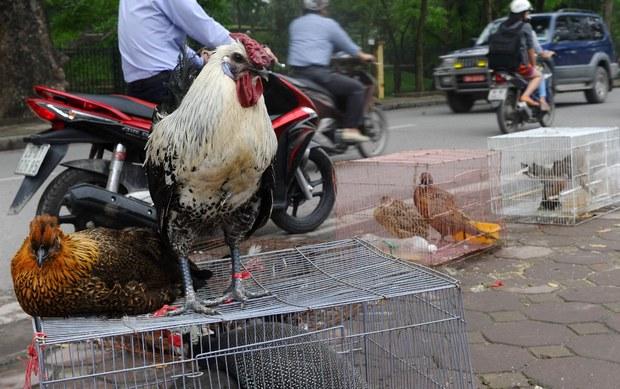 Việt Nam tiêu huỷ hơn 100 ngàn gia cầm khi dịch H5N1 lan ra 14 tỉnh, thành