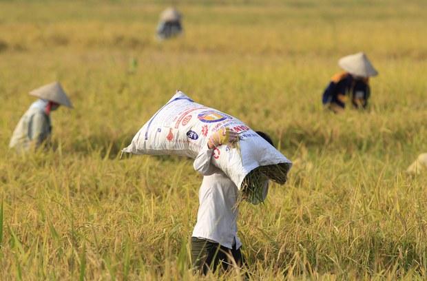 Dự báo Việt Nam sẽ tiếp tục đứng thứ 2 về xuất khẩu gạo