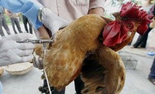 Chiến dịch chích ngừa cúm gia cầm cho gà (ảnh minh họa)