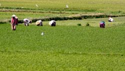 Nông dân đang canh tác vụ lúa hè thu 2010 trên một cánh đồng ở miền Trung. RFA photo