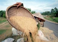 Nông dân Việt Nam thu hoạch lúa mùa. AFP photo