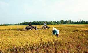 Nông dân đang gặt lúa vụ Đông Xuân 2010 ở ĐBSCL.
